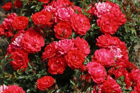 Bodendecker-Rose 'Limesglut' ® - Rosa 'Limesglut' ® ADR-Rose