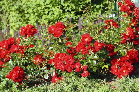Bodendecker-Rose 'Matador' ® - Rosa 'Matador' ®