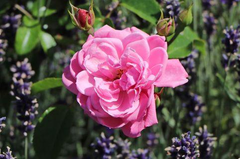 Bodendecker Rose 'Medusa' ® - Rosa 'Medusa' ®