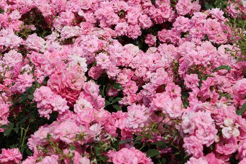 Bodendecker-Rose 'Mirato' ® - Rosa 'Mirato' ® ADR-Rose
