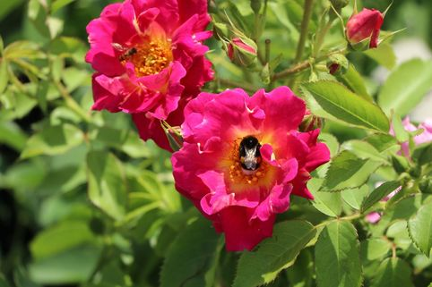 Bodendecker-Rose 'Red Foxi ®' - Rosa rugosa 'Red Foxi ®'