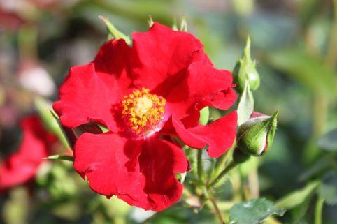 Bodendeckerrose 'Alpenglühen' ® - Rosa 'Alpenglühen' ®