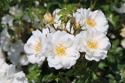 Bodendeckerrose 'Diamant' ® - Rosa 'Diamant' ®  ADR-Rose