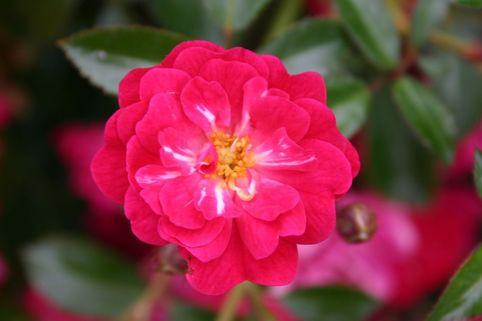 Bodendeckerrose 'Fairy Queen ' ® - Rosa 'Fairy Queen ' ®