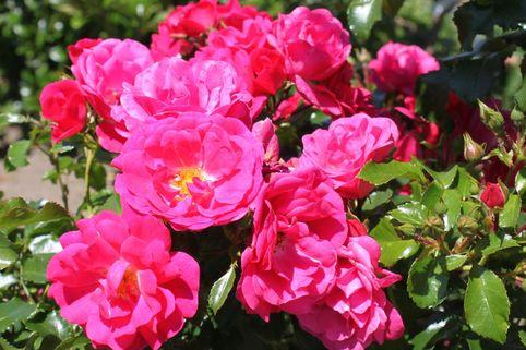 Bodendeckerrose 'Gärtnerfreude' ® / 'Toscana' ® - Rosa 'Gärtnerfreude' ® / 'Toscana' ®