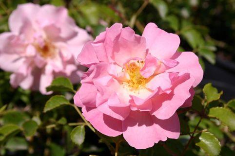 Bodendecker-Rose 'Heidekönigin' ® - Rosa 'Heidekönigin' ®