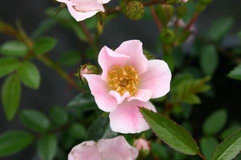 Bodendecker-Rose 'Heideröslein Nozomi' ® - Rosa 'Heideröslein Nozomi' ®