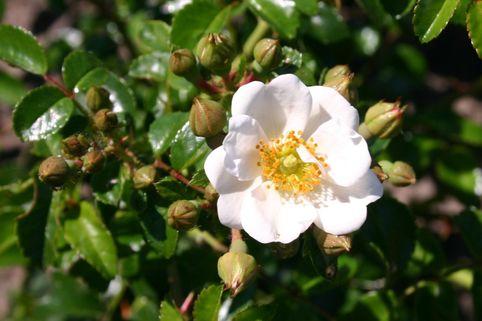 Bodendecker-Rose 'Immensee' ® - Rosa 'Immensee' ®