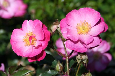 Bodendecker-Rose 'Lavender Dream' ® - Rosa 'Lavender Dream' ®