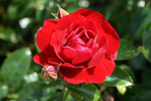 Bodendecker-Rose 'Mainaufeuer' ® - Rosa 'Mainaufeuer' ®