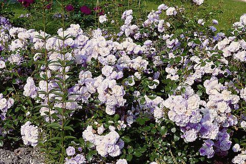 Bodendecker-Rose 'Pearl Mirato' ® - Rosa 'Pearl Mirato' ®