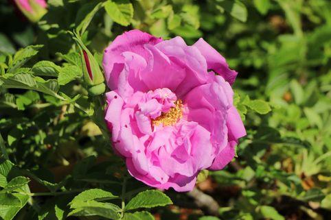 Bodendeckerrose 'Pink Roadrunner' ® - Rosa 'Pink Roadrunner' ®