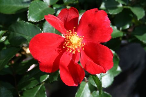 Bodendecker-Rose 'Red Haze' ® - Rosa 'Red Haze' ®