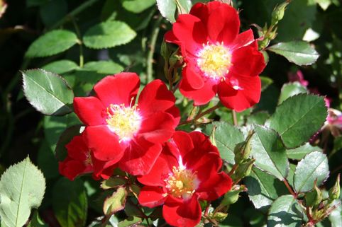 Bodendeckerrose 'Red Meidiland' ® - Rosa 'Red Meidiland' ®