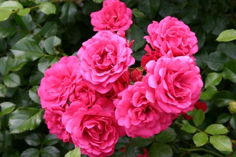 Bodendeckerrose 'Rody' ® - Rosa 'Rody' ®