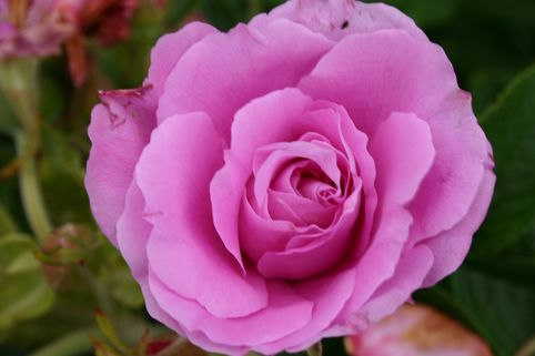 Bodendeckerrose 'Romantic Roadrunner' ® - Rosa 'Romantic Roadrunner' ®