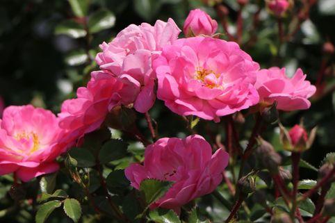 Bodendeckerrose 'Satina' ® - Rosa 'Satina' ® ADR-Rose