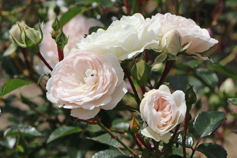Bodendecker-Rose 'Sea Foam' - Rosa 'Sea Foam'