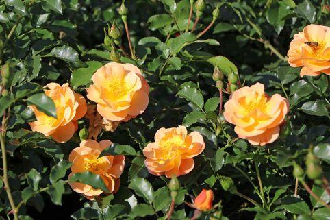 Bodendeckerrose 'Sedana' ® ADR-Rose - Rosa 'Sedana' ® ADR-Rose