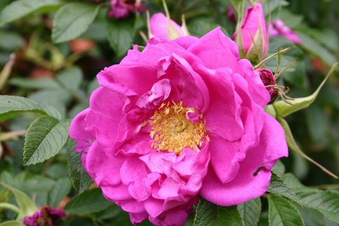 Bodendeckerrose 'Smart Roadrunner' ® - Rosa 'Smart Roadrunner' ®