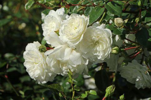 Bodendeckerrose 'Snow Ballet' ® - Rosa 'Snow Ballet' ®
