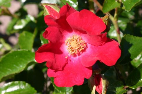 Bodendeckerrose 'Sommerabend' ® - Rosa 'Sommerabend' ®