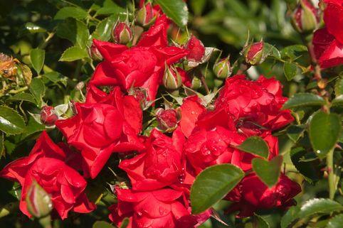 Bodendeckerrose 'Sorrento' - Rosa 'Sorrento'  ®  ADR-Rose
