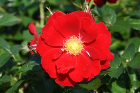 Bodendeckerrose 'Stadt Potsdam' ® - Rosa 'Stadt Potsdam' ®