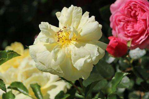 Bodendeckerrose 'Sunny Rose' ® - Rosa 'Sunny Rose' ®