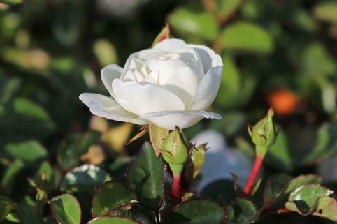 Bodendeckerrose 'Swany' ® - Rosa 'Swany' ®