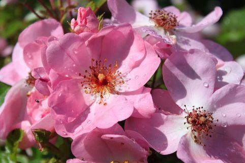 Bodendeckerrose 'Sweet Haze' ® - Rosa 'Sweet Haze' ® ADR-Rose