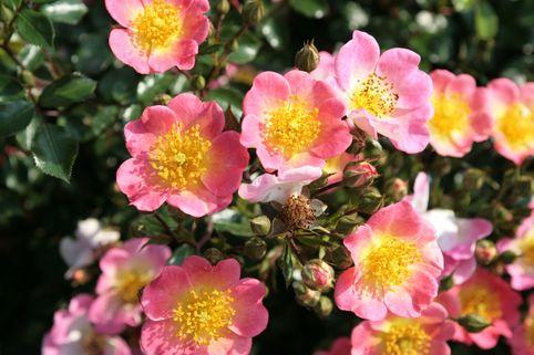 Bodendeckerrose 'Topolina' - Rosa 'Topolina' ADR-Rose
