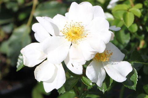Bodendeckerrose 'Weiße Max Graf' ® - Rosa 'Weiße Max Graf' ®