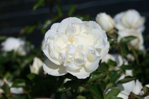 Bodendeckerrose 'White Meidiland' ® - Rosa 'White Meidiland' ®