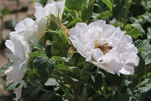 Bodendeckerrose 'White Roadrunner' ® - Rosa 'White Roadrunner' ®