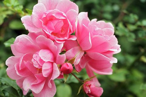 Bodendeckerrose 'Wildfang' - Rosa 'Wildfang'