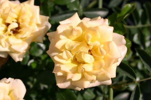 Bodendeckerrose 'Yellow Fairy' ® - Rosa 'Yellow Fairy' ®