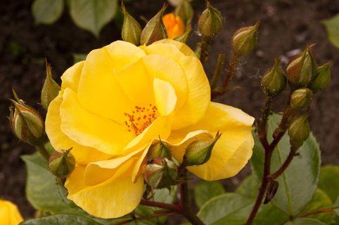 Bodendeckerrose 'Yellow Fleurette' ® - Rosa 'Yellow Fleurette'