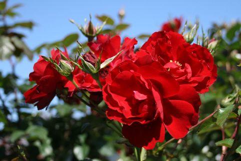 Bodendeckerrose/Beetrose 'Austriana' ® - Rosa 'Austriana' ®