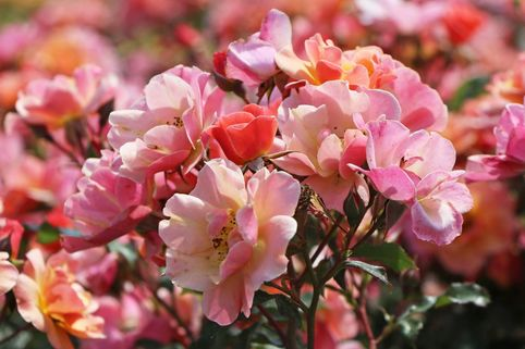 Bodendeckerrose/Beetrose 'Jazz' ® - Rosa 'Jazz' ®