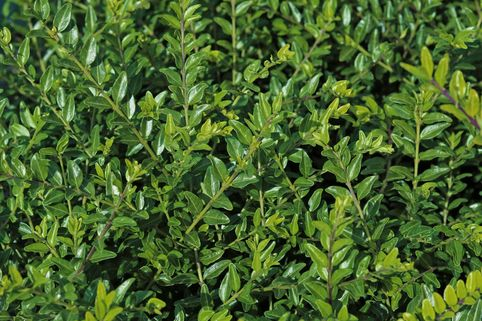 Böschungsmyrthe 'Moss Green' - Lonicera pileata 'Moss Green'
