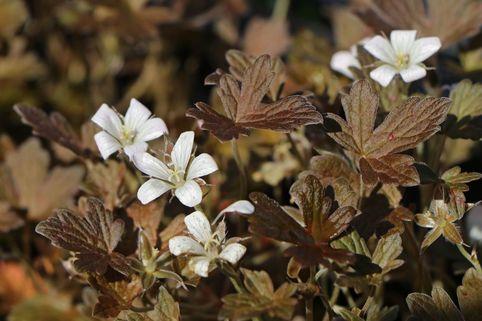 Braunblättriger Storchschnabel 'Sanne' - Geranium sessiliflorum 'Sanne'