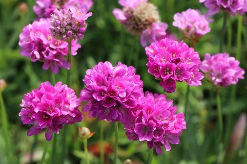 Breitblättrige Grasnelke 'Ballerina Lilac' - Armeria pseudarmeria 'Ballerina Lilac'