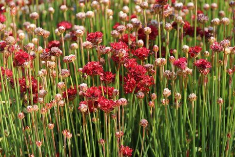 Breitblättrige Grasnelke 'Ballerina Red' - Armeria pseudarmeria 'Ballerina Red'
