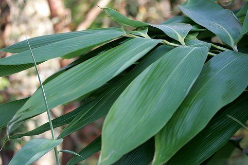 Breitblättriger Zwergbambus, Palmenbambus - Sasa palmata
