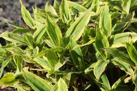 Breitblatt-Segge 'Shima-nishiki' - Carex ciliato-marginata 'Shima-nishiki'