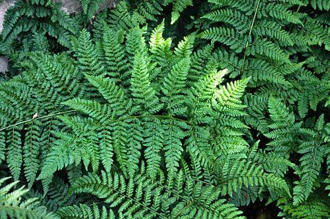 Breitwedel-Dornfarn - Dryopteris dilatata