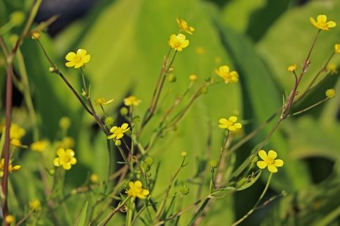 Brennender Hahnenfuß - Ranunculus flammula