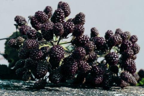 Brombeere 'Theodor Reimers' - Rubus fruticosus 'Theodor Reimers'