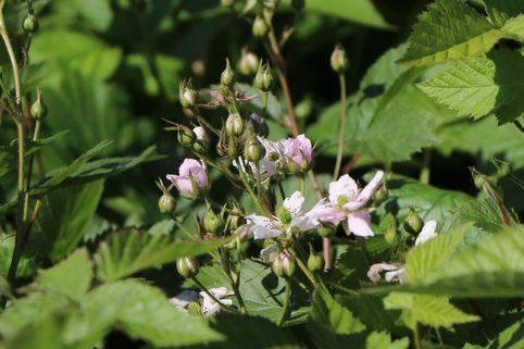 Brombeere 'Thornfree' - Rubus fruticosus 'Thornfree'